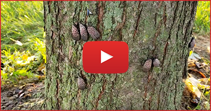 Spotted Lantern Flys on Tree | Video link