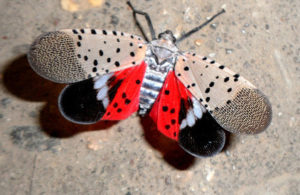 Spotted Lanternfly Wings Open