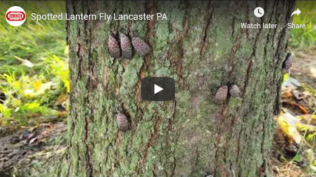 lantern flies on tree with play button overlaid