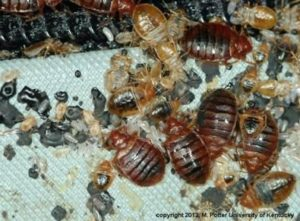 bed bugs, nymphs, and eggs