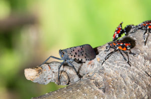 spotted lantern fly nymphs