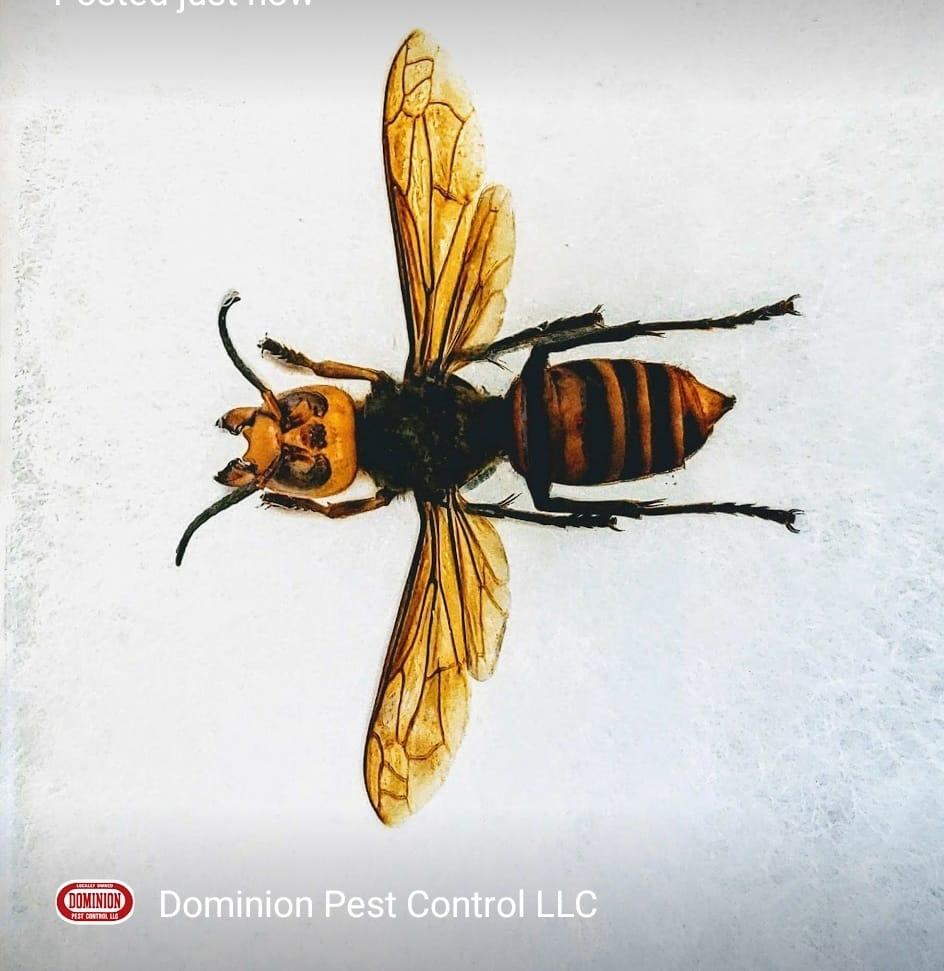 Murder Hornet specimen