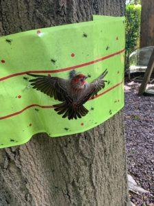 wren stuck to lanternfly tree tape