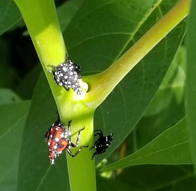lanternfly nymphs