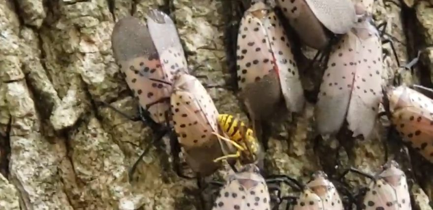 lanternfly and yellowjacket