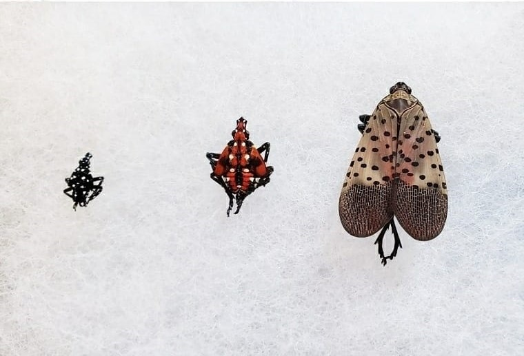 stages of spotted lantern flies