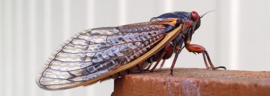 cicada in pennsylvania
